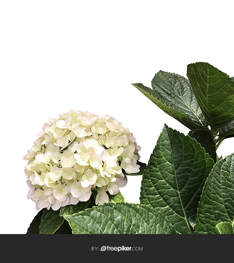 Isolated Flower with White Background