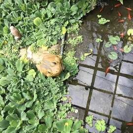 Beautiful Pond with Golden Fish & Frog