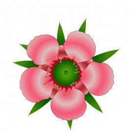 The Manuka Flower Vector